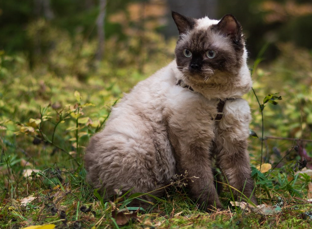 A seal point Selkirk Rex Shorthair sitting in the woods